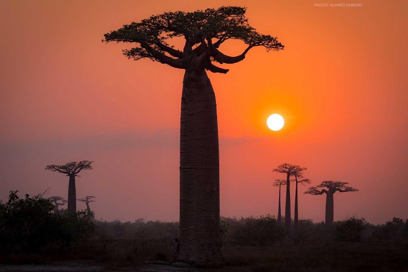baobabs madagascar Alvaro cubero