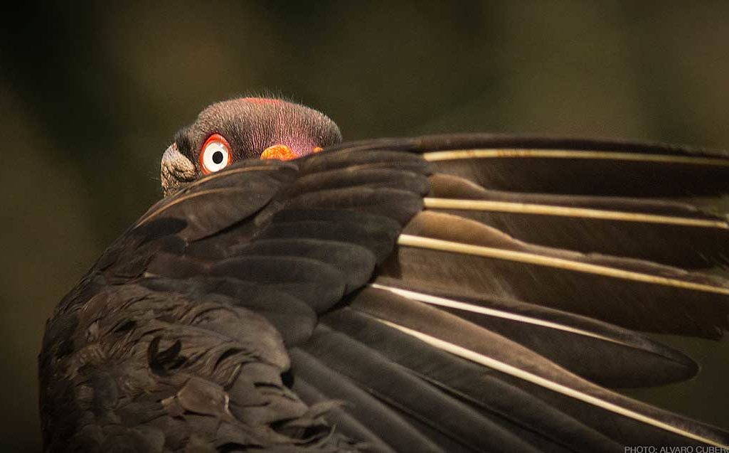 King Vulture Adult costa rica